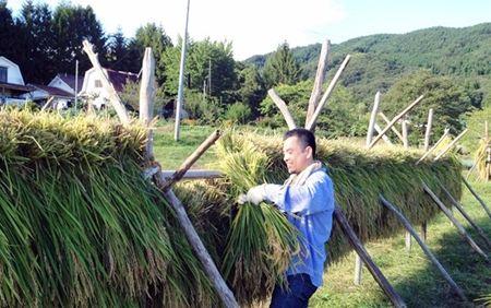 刈った稲の「はせがけ」に精を出す社長の吉山