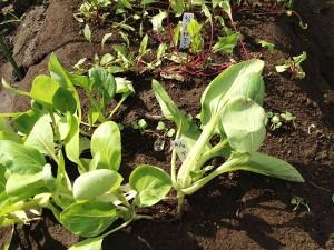 チンゲン菜と赤軸ホウレンソウ