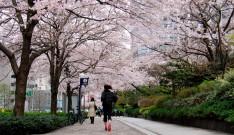 桜ジョギング